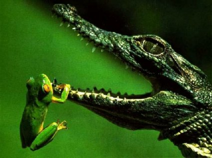 frog hanging from croc mouth
