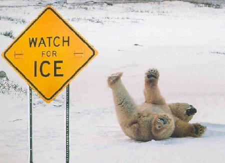 Polar Bear Slips on Ice
